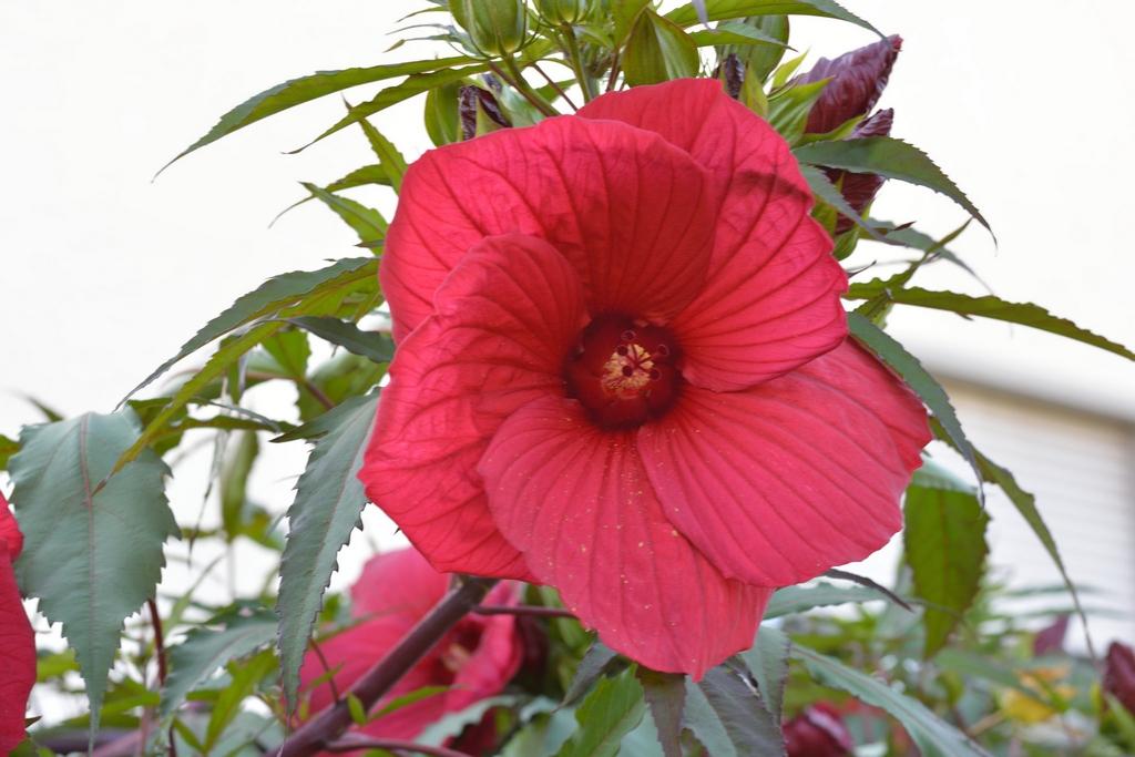 floraison hibiscus des marais