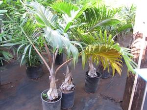 Culture et entretien du palmier bouteille