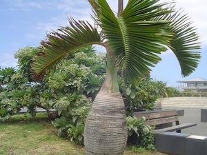 Plantation du palmier bouteille
