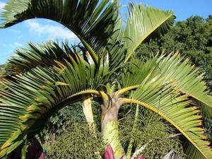 Multiplication du palmier bouteille