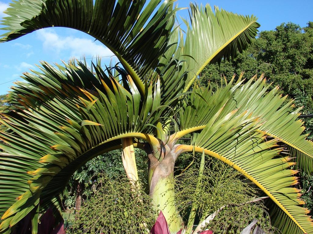 Palmier bouteille planter et entretenir ooreka for Maladie palmier interieur