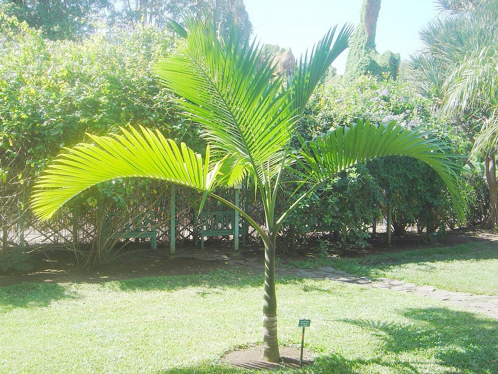 palmier bouteille planter et entretenir ooreka. Black Bedroom Furniture Sets. Home Design Ideas