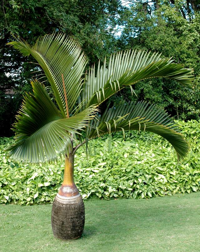 palmier bouteille   planter et entretenir  u2013 ooreka