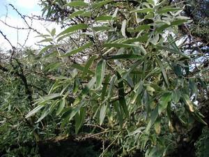 Culture et entretien de l'<em>Elaeagnus angustifolia</em>