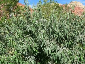 Plantation de l'<em>Elaeagnus angustifolia</em>