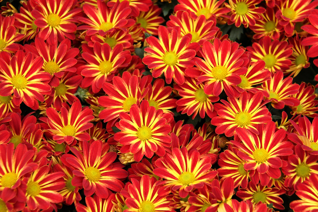 Chrysanth me planter et tailler ooreka for Entretien jardinage chez particulier