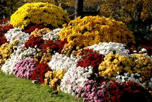 Semis et plantation du chrysanthème