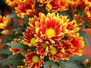 Multiplication du chrysanthème
