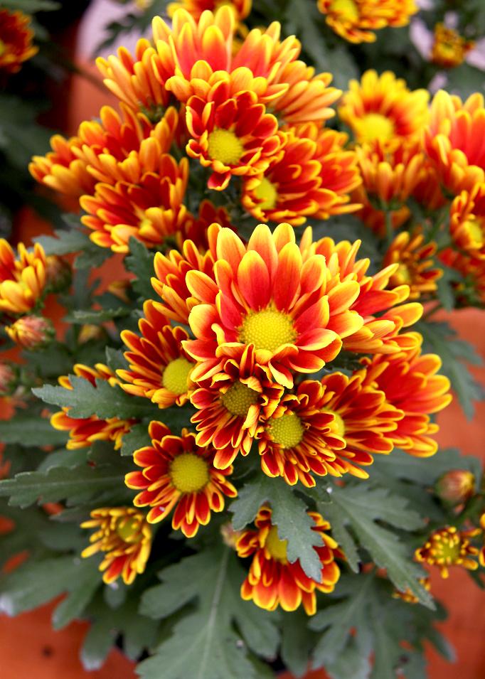 chrysanth u00e8me   planter et tailler  u2013 ooreka