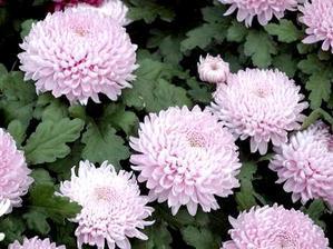 Culture et entretien du chrysanthème