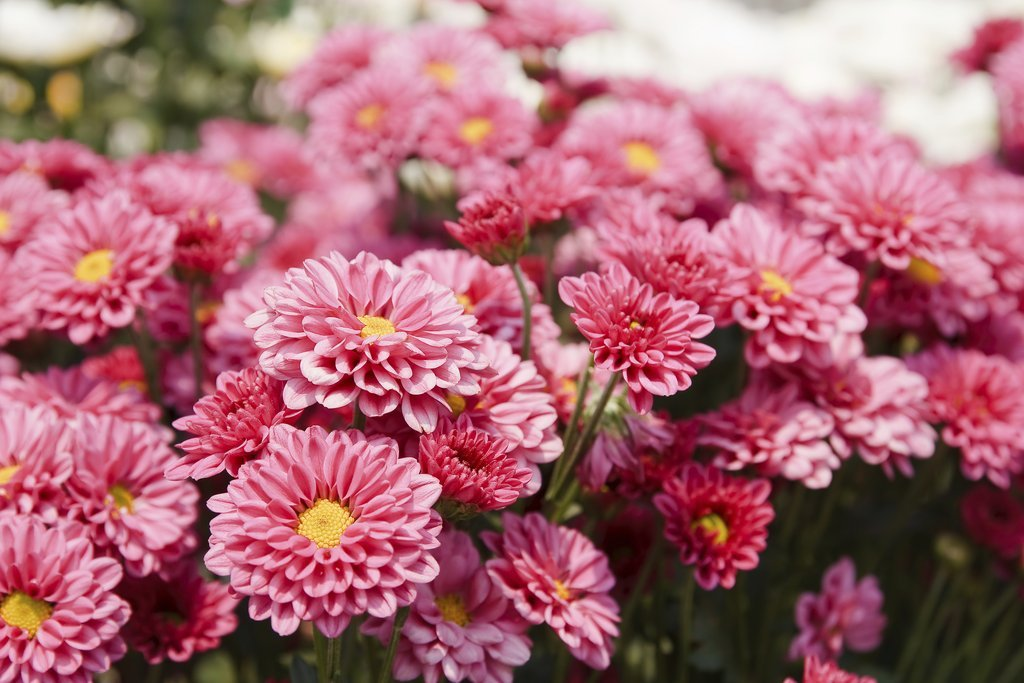 Chrysanth me planter et tailler ooreka - Chrysantheme entretien ...