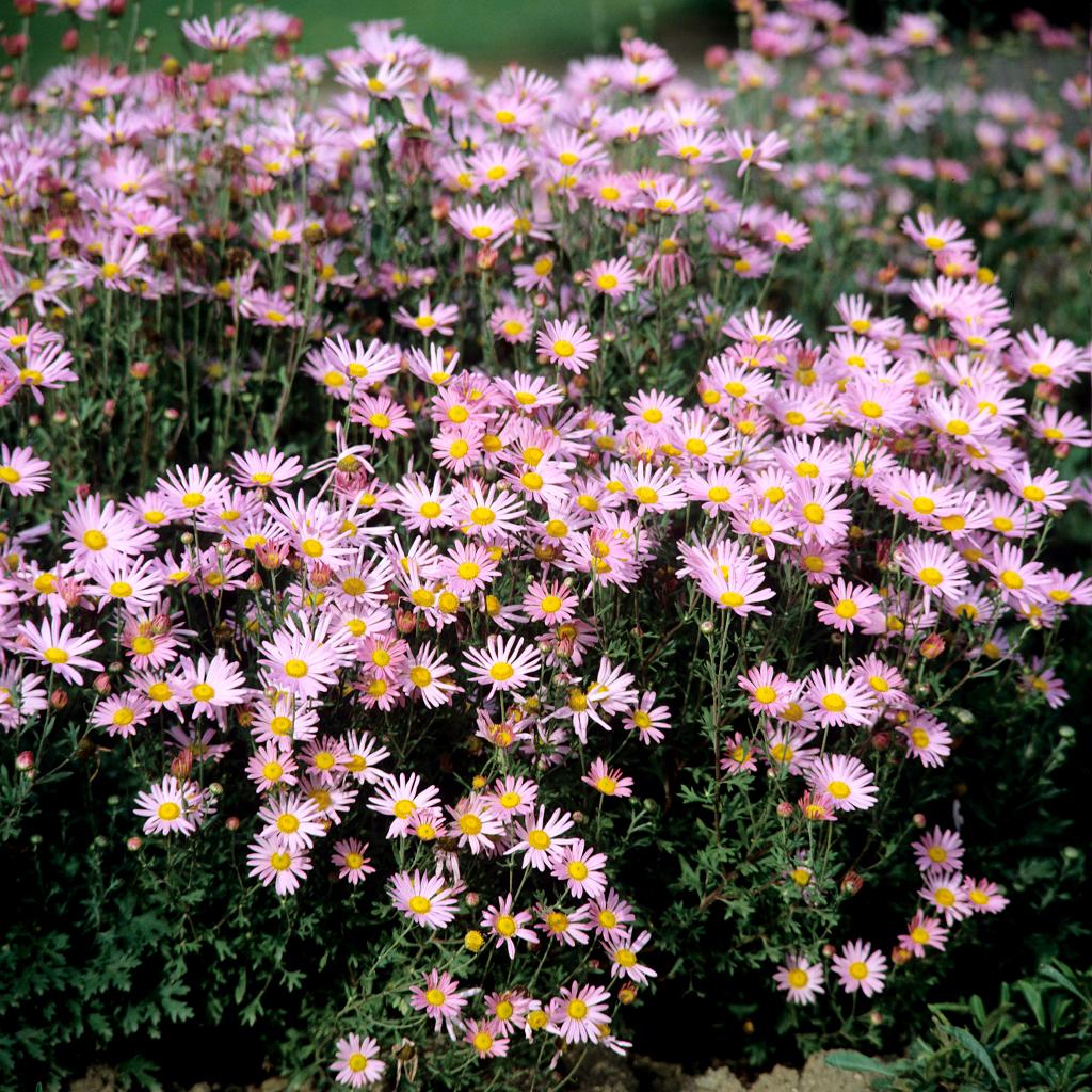 Chrysanth me planter et tailler ooreka - Variete de pommier rustique ...