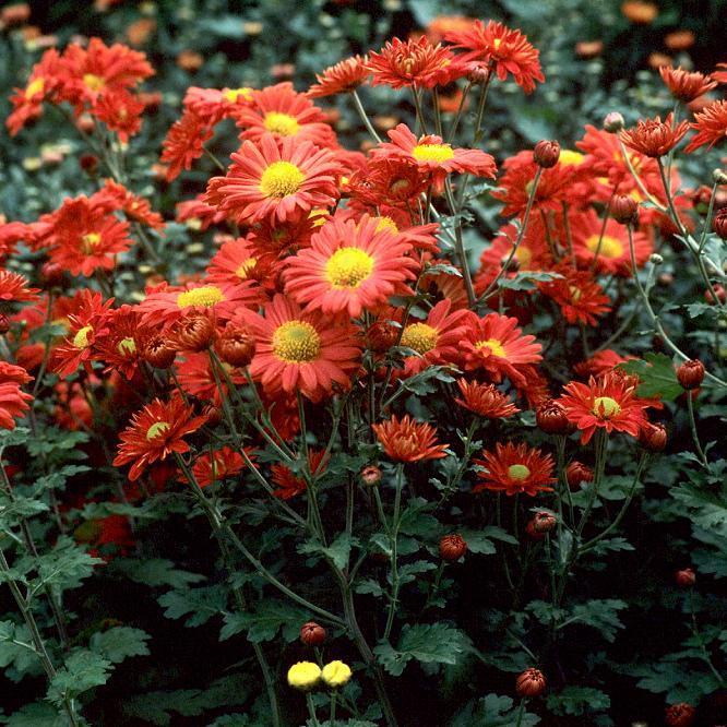 Chrysanthème coréen 'Apollo'