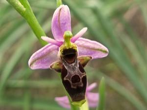 Multiplication d'<em>Ophrys</em>