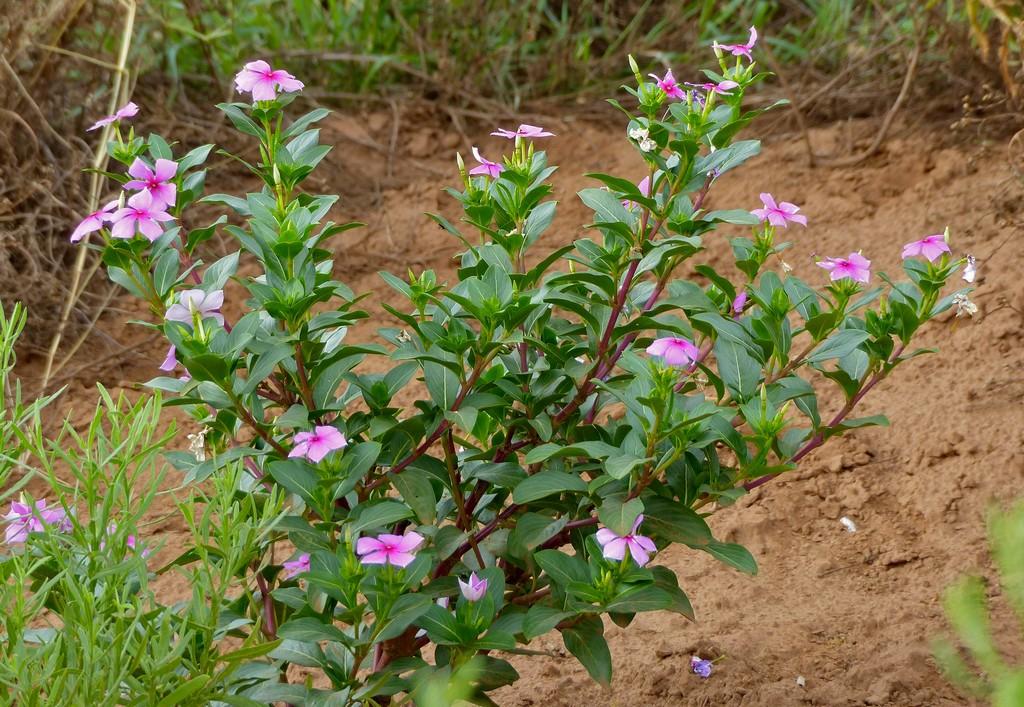 Plante 150 Maladies Madagascar Of Pervenche De Madagascar Planter Et Entretenir Ooreka