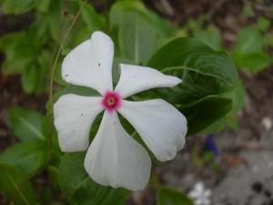 Multiplication de Pervenche de Madagascar