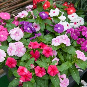 Catharanthus roseus spp speciosa