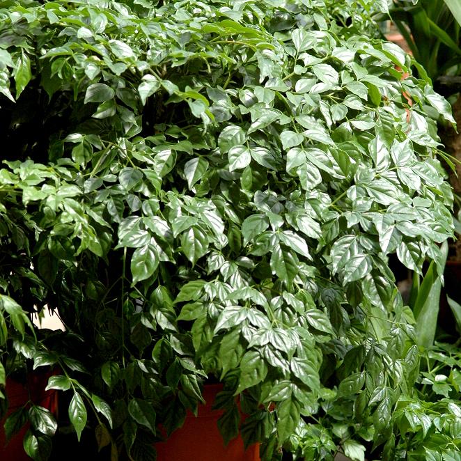Radermacher de Chine, arbre serpent, arbre émeraude, frêne d'intérieur, poupée de Chine (Radermachera sinica)