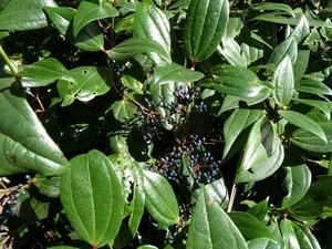Plantation du <em>Viburnum davidii</em>