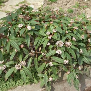 Viorne de David (Viburnum davidii) Espèce type