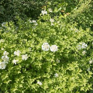 Viorne obier (Viburnum opulus) 'Xanthocarpum'