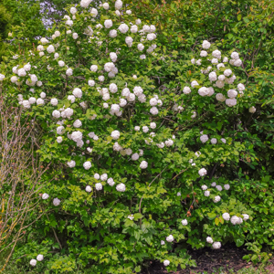 Viorne obier (Viburnum opulus) Espèce type