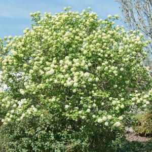 Viorne obier (Viburnum opulus) Boule de neige, rose de Gueldre ou 'Roseum' (syn. Viburnum opulus var. sterile)