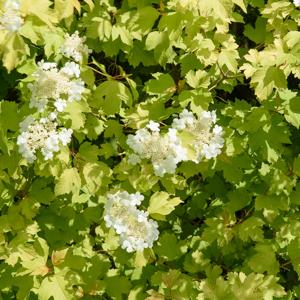 Viorne obier (Viburnum opulus) 'Aureum'