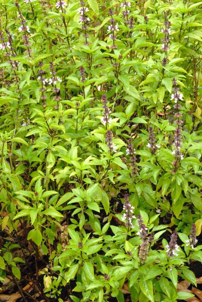 Basilic : planter et cultiver - Ooreka