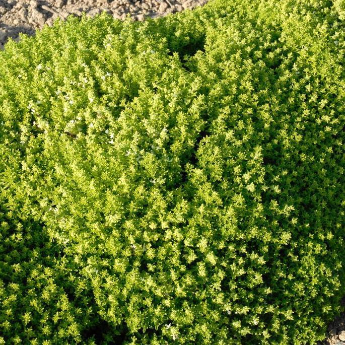 Basilic planter et cultiver ooreka for Plante 8 feuilles