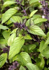 Basilic : planter et cultiver - ComprendreChoisir