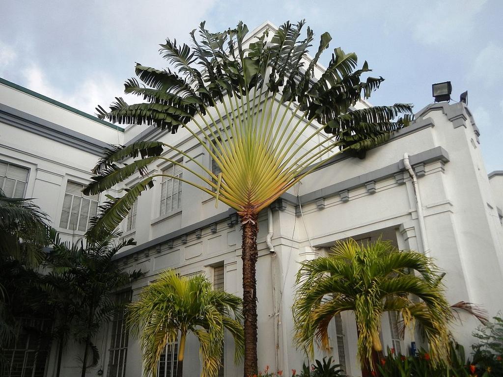 Arbre En Pot Hiver arbre du voyageur : planter et entretenir – ooreka