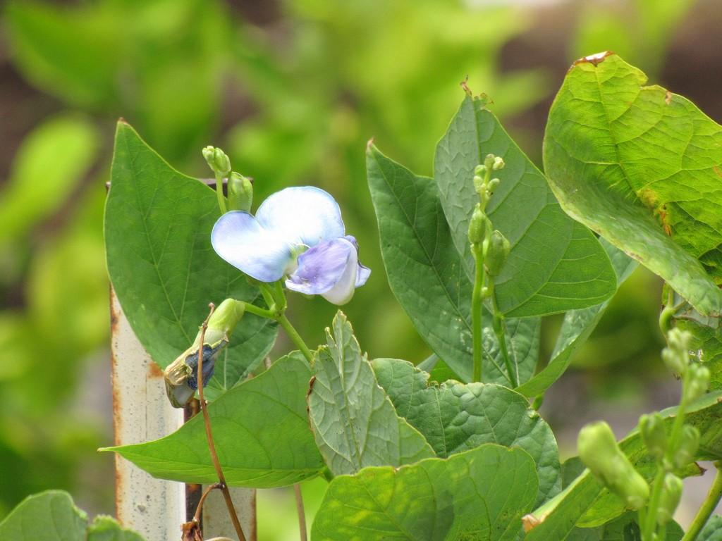 haricot ailé : planter et entretenir – ooreka
