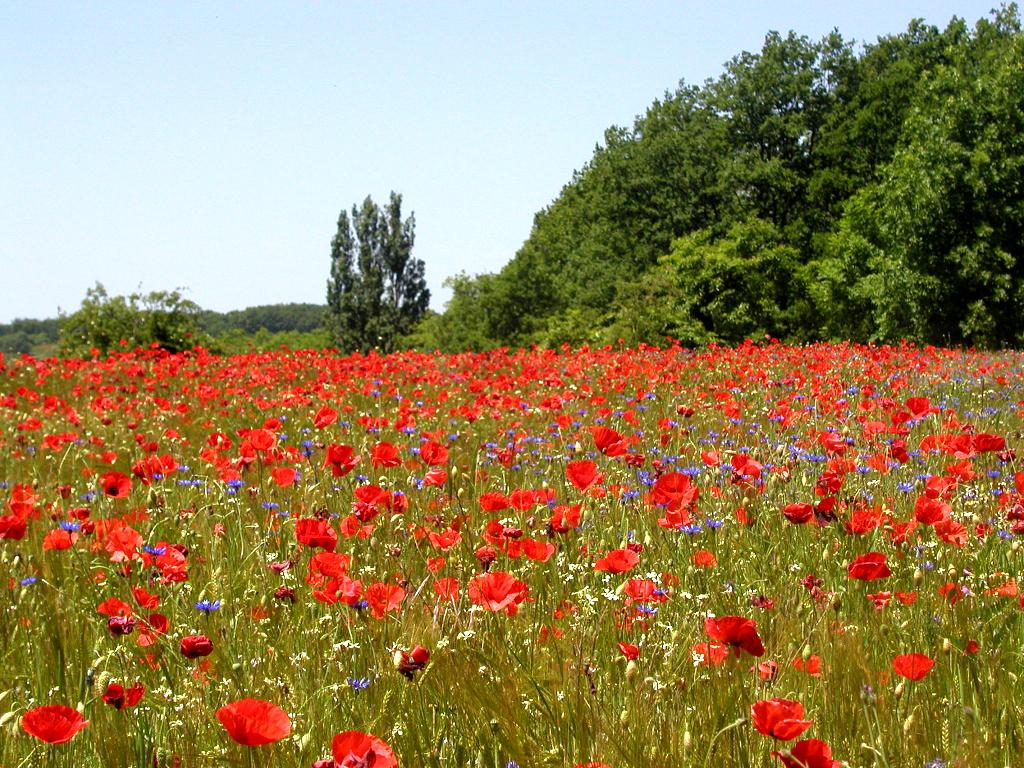 Planter Des Coquelicots Dans Son Jardin coquelicot : semer et planter – ooreka
