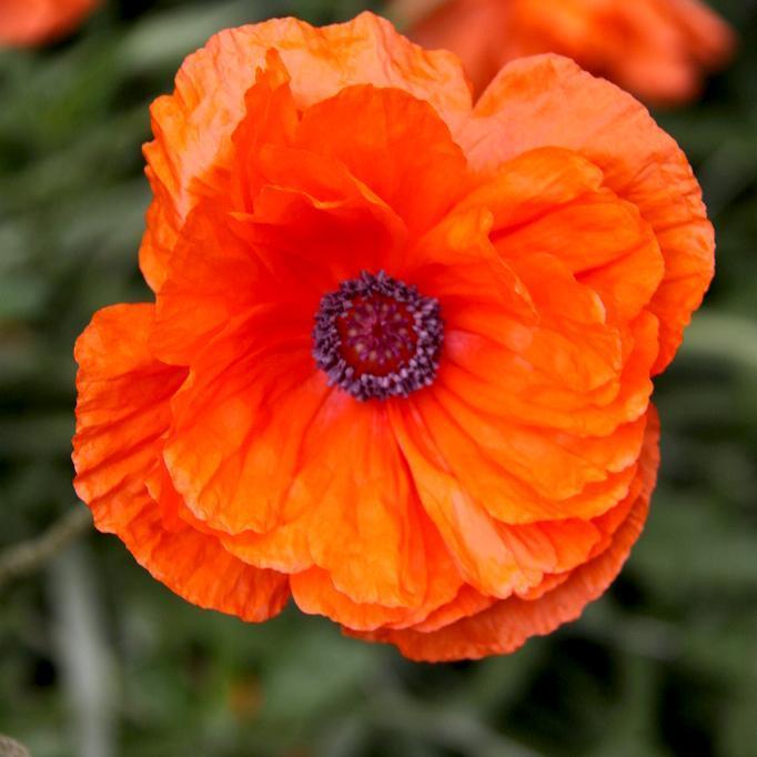 Variétés à fleurs simples Coquelicot sauvage (Papaver rhoeas)