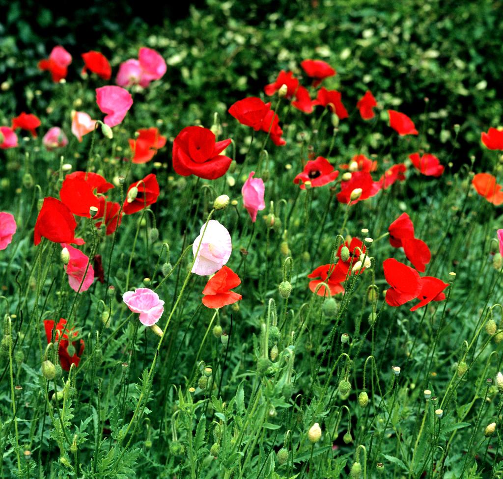 Coquelicot semer et planter ooreka for Plante lumineuse