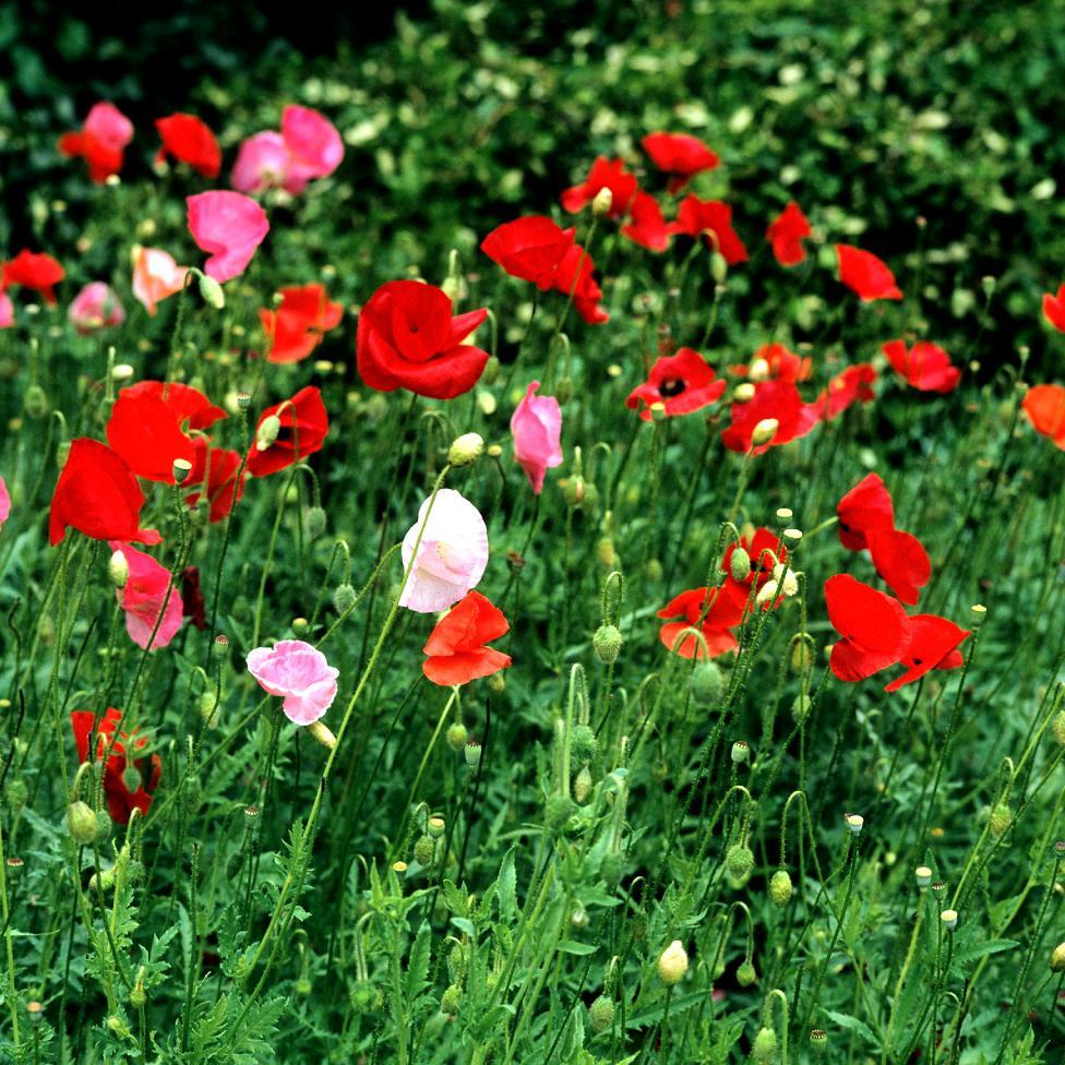 Variétés à fleurs semi-doubles et doubles Série Shirley