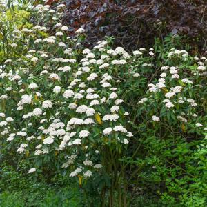 Viorne à feuilles ridées, viorne ridée (Viburnum rhytidophyllum) Viorne de Prague, syn. 'Pragense'