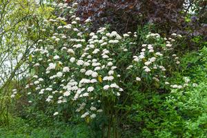 Multiplication de <em>Viburnum rhytidophyllum</em>