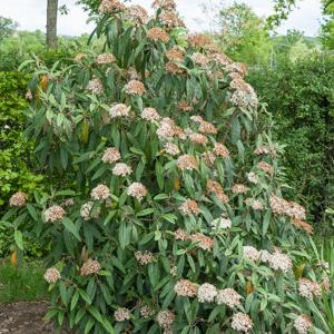 Viorne à feuilles ridées, viorne ridée (Viburnum rhytidophyllum) 'Roseum'