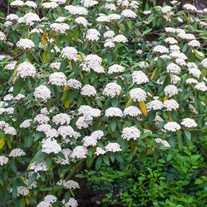 Viorne à feuilles ridées, viorne ridée (Viburnum rhytidophyllum) 'Cree'