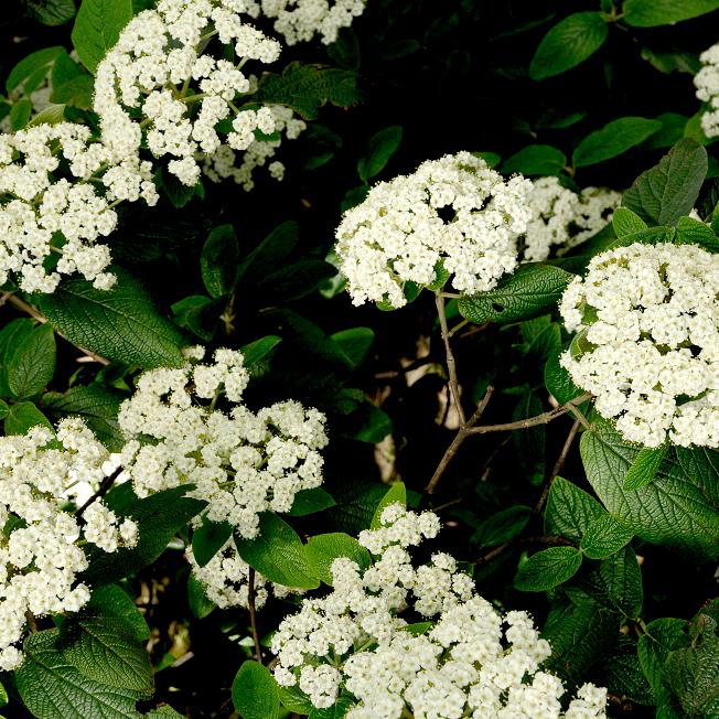 Viorne à feuilles ridées, viorne ridée (Viburnum rhytidophyllum) Viburnum x rhytidophylloides
