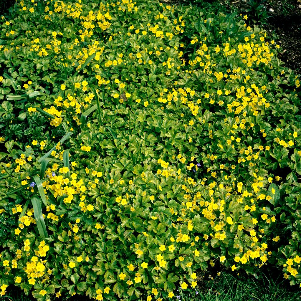 Waldsteinia planter et entretenir ooreka for Plante synonyme