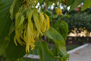 Culture et entretien de l'ylang-ylang