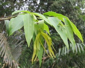Plantation d'ylang-ylang