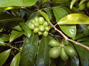 Multiplication de l'ylang-ylang