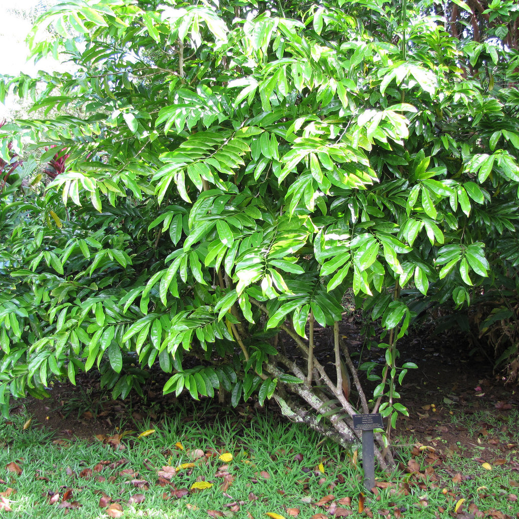 Ylang-ylang vine, climbing ylang-ylang, juicy fruit vine (Artabotrys hexapetalus)