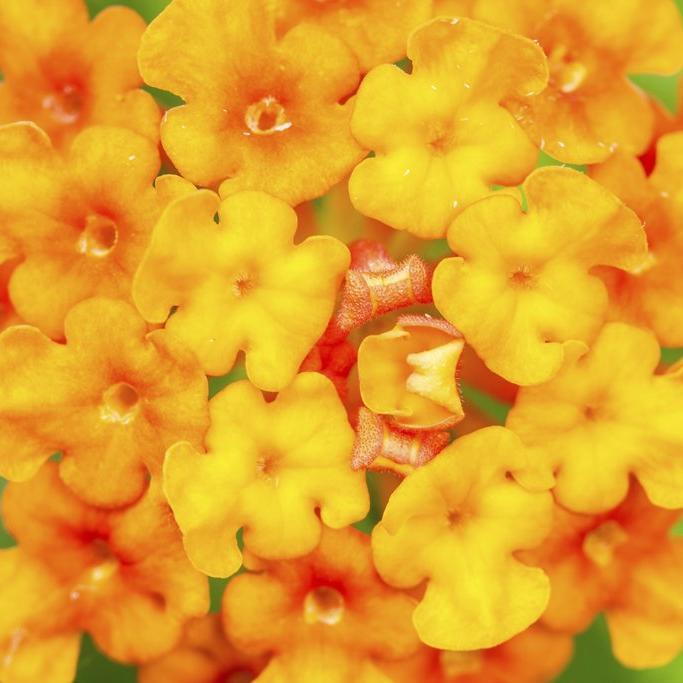 Gros arbustes Lantana camara 'Radiation'