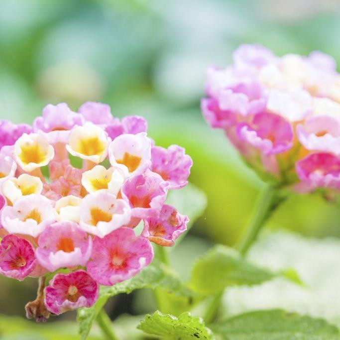 Gros arbustes Lantana camara 'Framboisine'