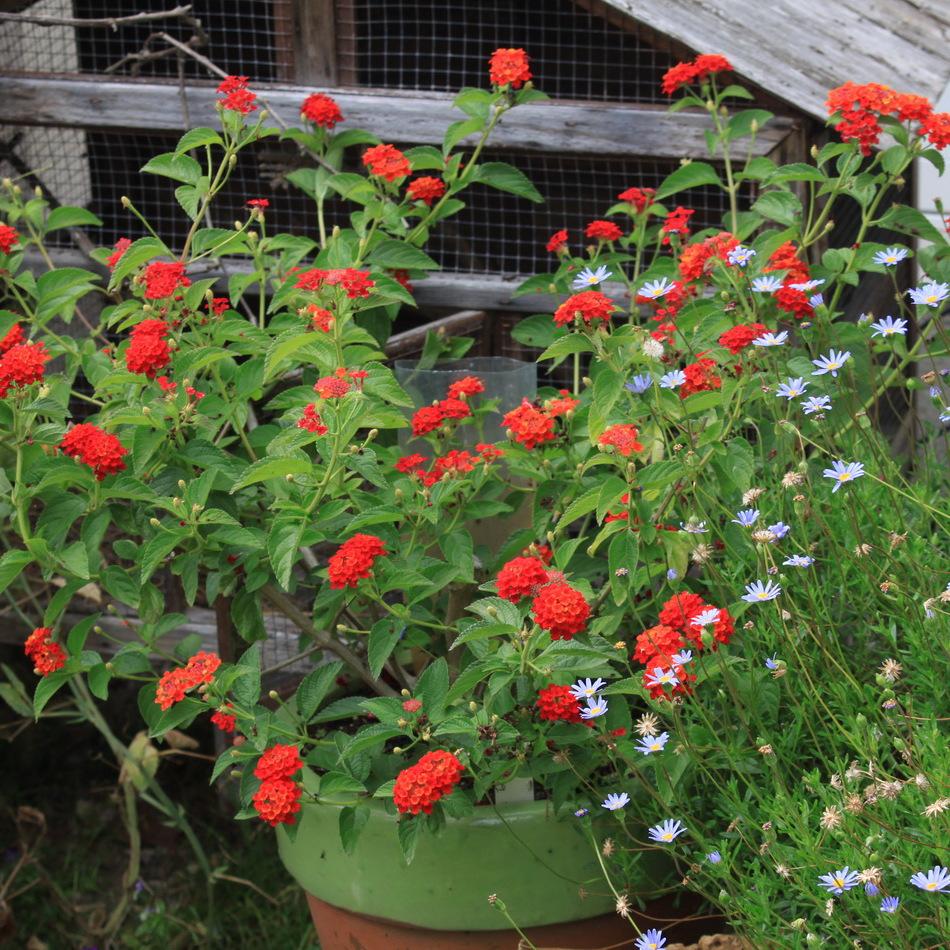 Gros arbustes Lantana camara 'Violet de Corse'